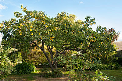 Quince tree in Havelock North.