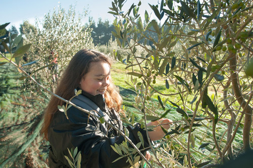 Young girl picking olives in morning sunlight.