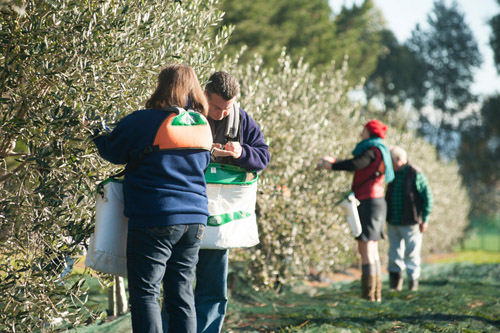 Picking olives at White Rock Estate in Martinborough.