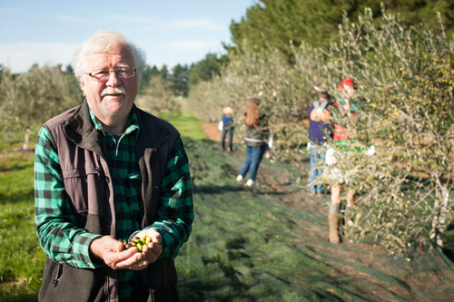 Ray Lilley of Whiterock Olives holding fresh olives.