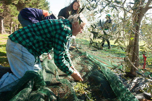Picking olives at White Rock Olives in Martinborough.