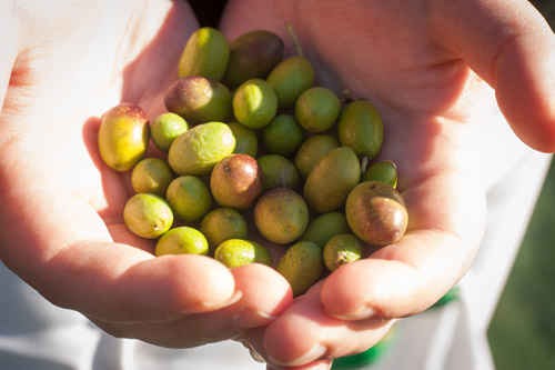 Close up photo of hands holding green olives in sun.