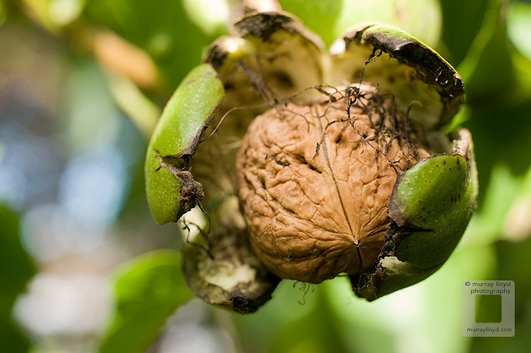 Fresh walnut ripening on tree