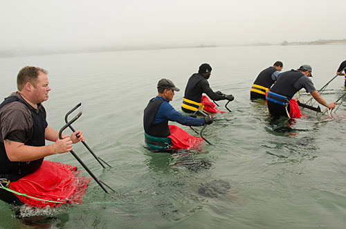 Harvesting clams in Blueskin Bay