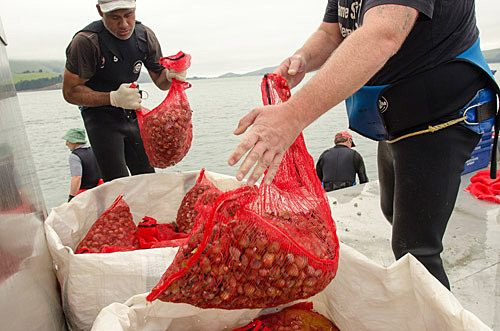 Loading sacks of clams in Blueskin Bay.