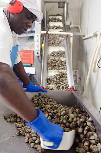 Clams being sorted in factory