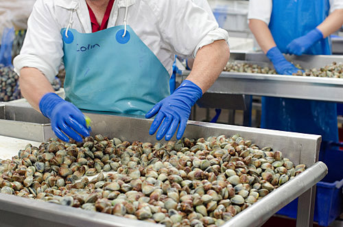 Sorting fresh clams for export
