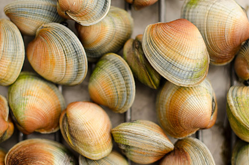 Close up look at Blueskin Bay Clams.
