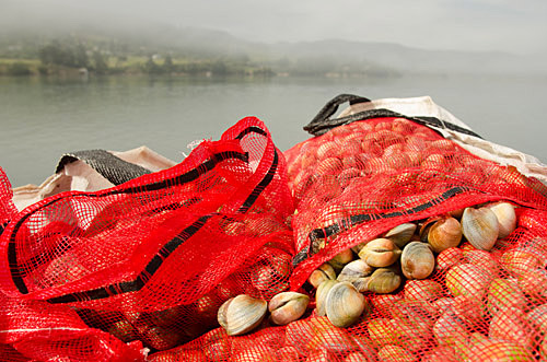 Freshly harvested clams on barge at Blueskin Bay, New Zealand