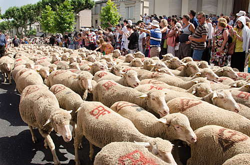 Sheep in street at the Fete de la Transhumancein St Remy de Provence