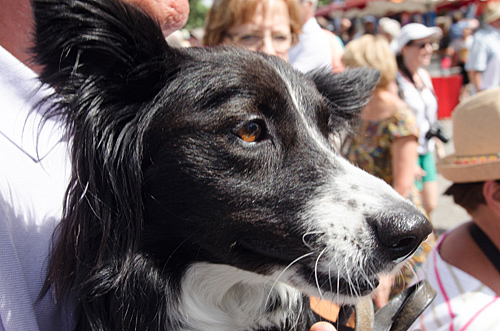 Close up of sheep dog looking interested in crowd of poeple