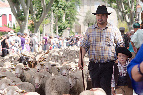 Farmer herding sheep in street at the Fete de la Transhumancein St Remy de Provence