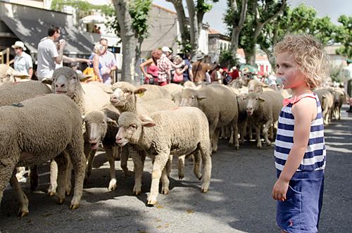 Sheep in street at the Fete de la Transhumancein St Remy de Provence