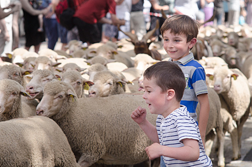 Boys playing with sheep at the Fete de la Transhumance in St Remy de Provence