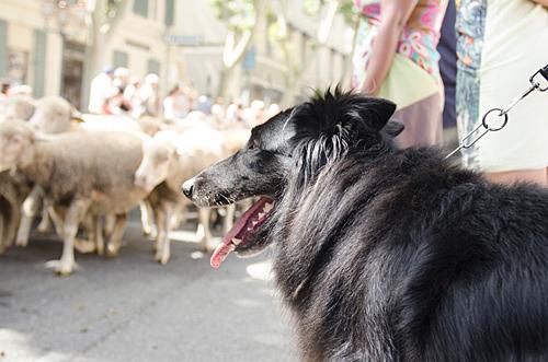 Black dog watching sheep in parade.