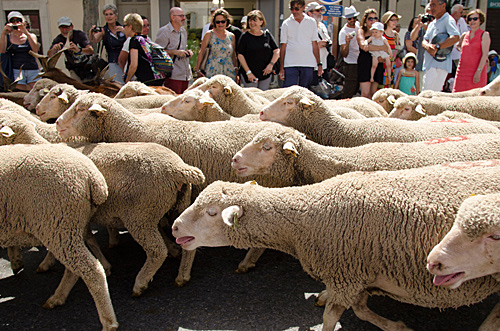 sheep at the Fete de la Transhumance in St Remy de Provence