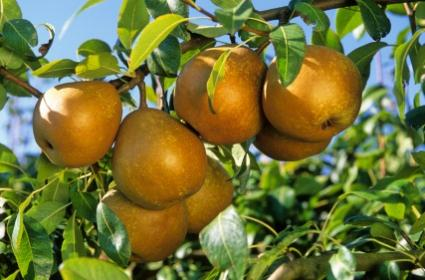 96873-425x280-Pear-orchard.jpg