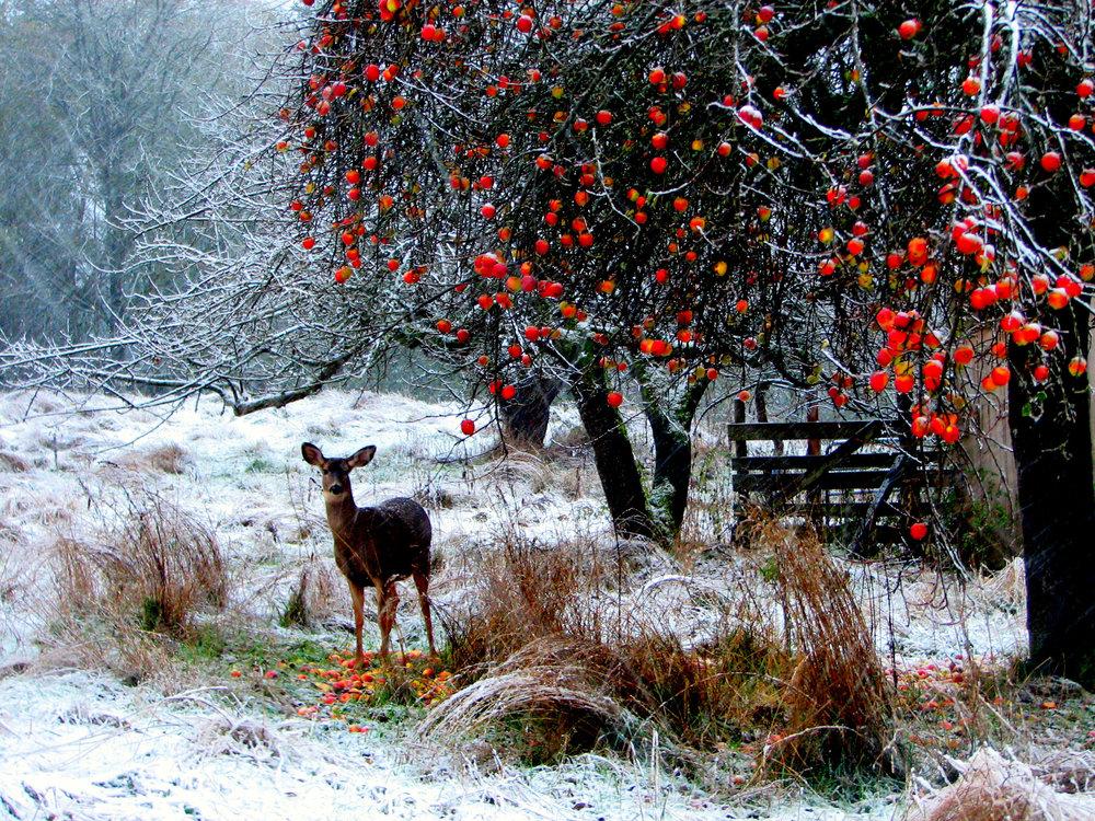 Deer Amidst Winter Apples.jpg