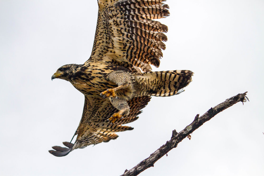 Mangrove Black-Hawk juv in flight.jpg
