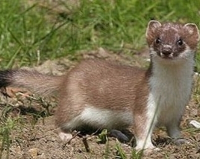 Stoat-cropped.jpg