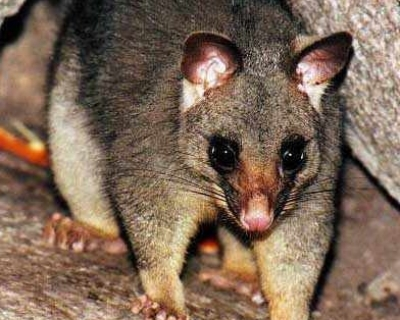 Possum-cropped.jpg