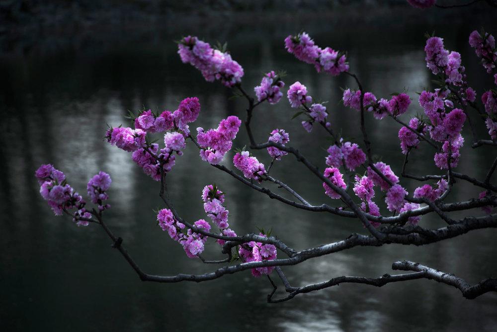 沈玮,《樱花》,2015年。收藏级喷墨打印  作品由沈玮和Flowers画廊(伦敦/纽约)提供。