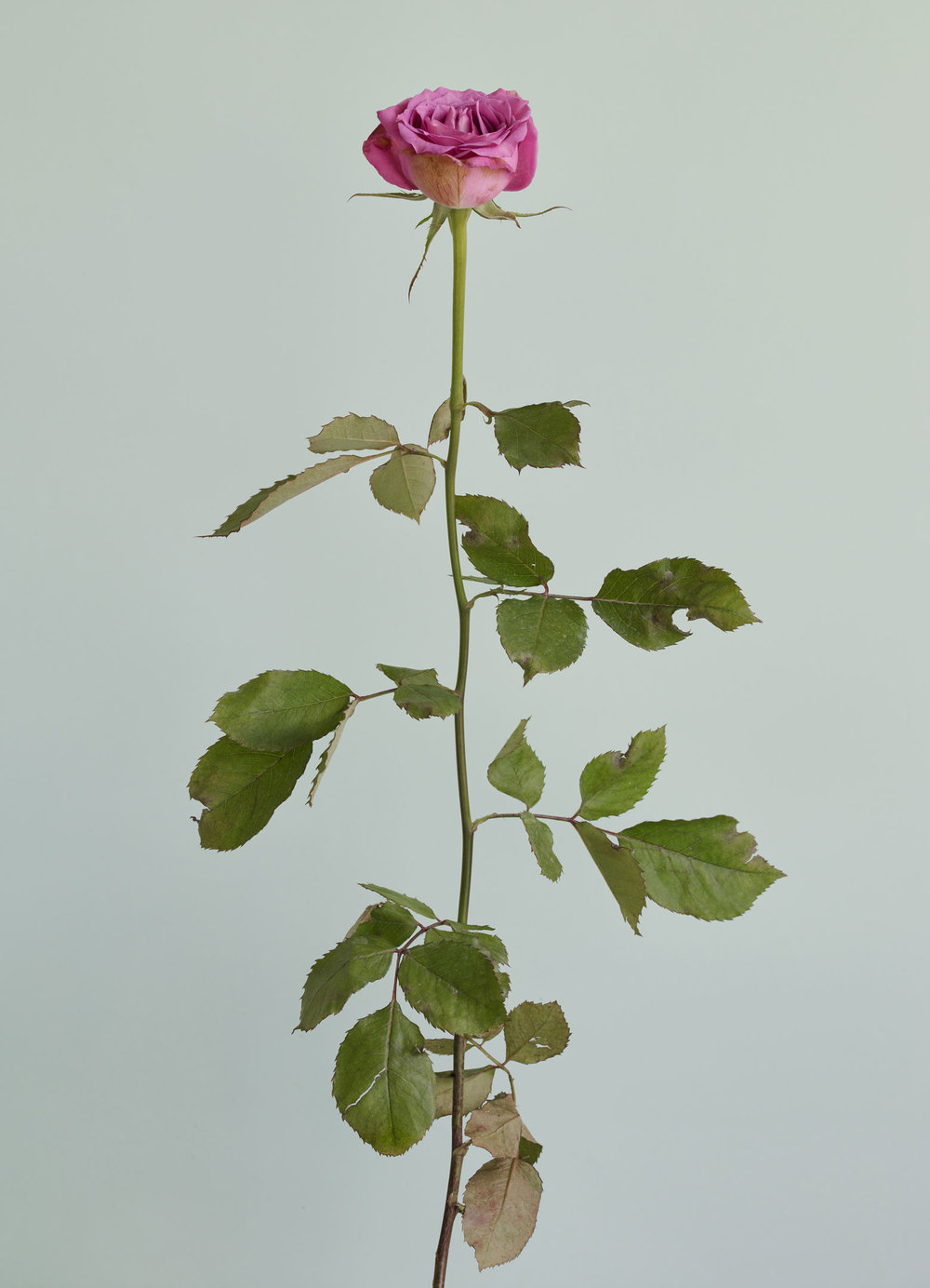 Chung-Heeseung--Untitled-#12-,-from-the-series-Rose-is-a-rose-is-a-rose.jpg