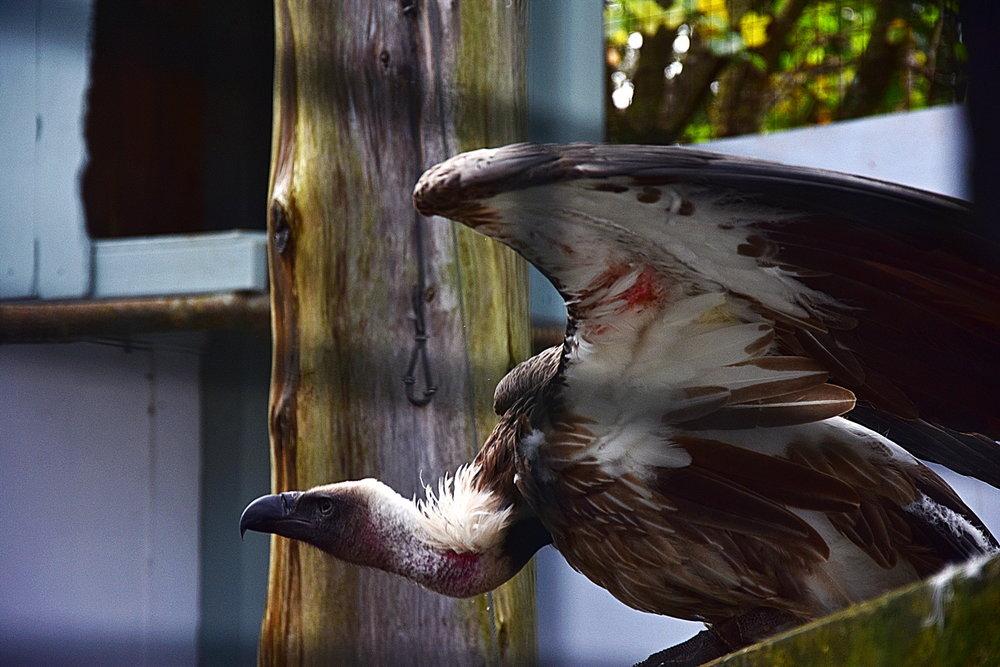 6320_Vulture_Resized.JPG