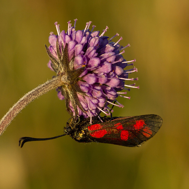 BurnetMothOnScabious_Colour_N.jpg