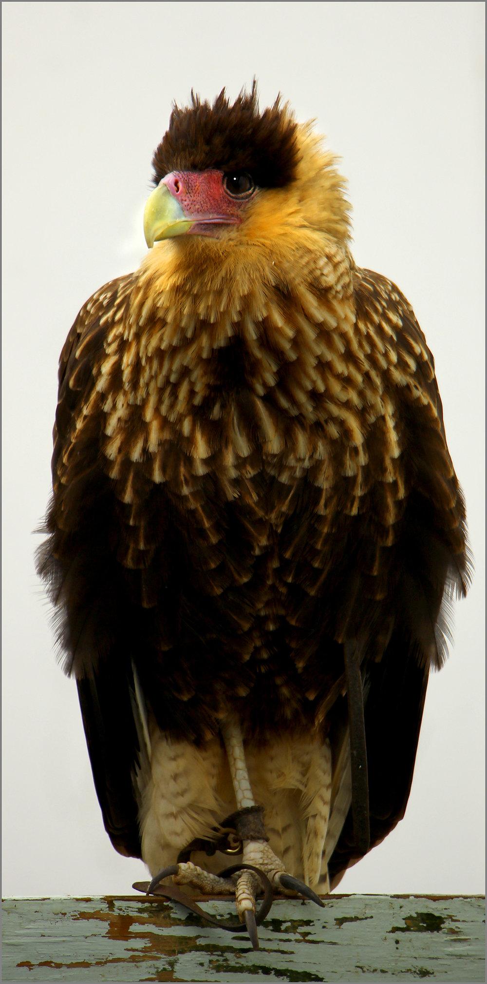 The Beatle Eagle..jpg