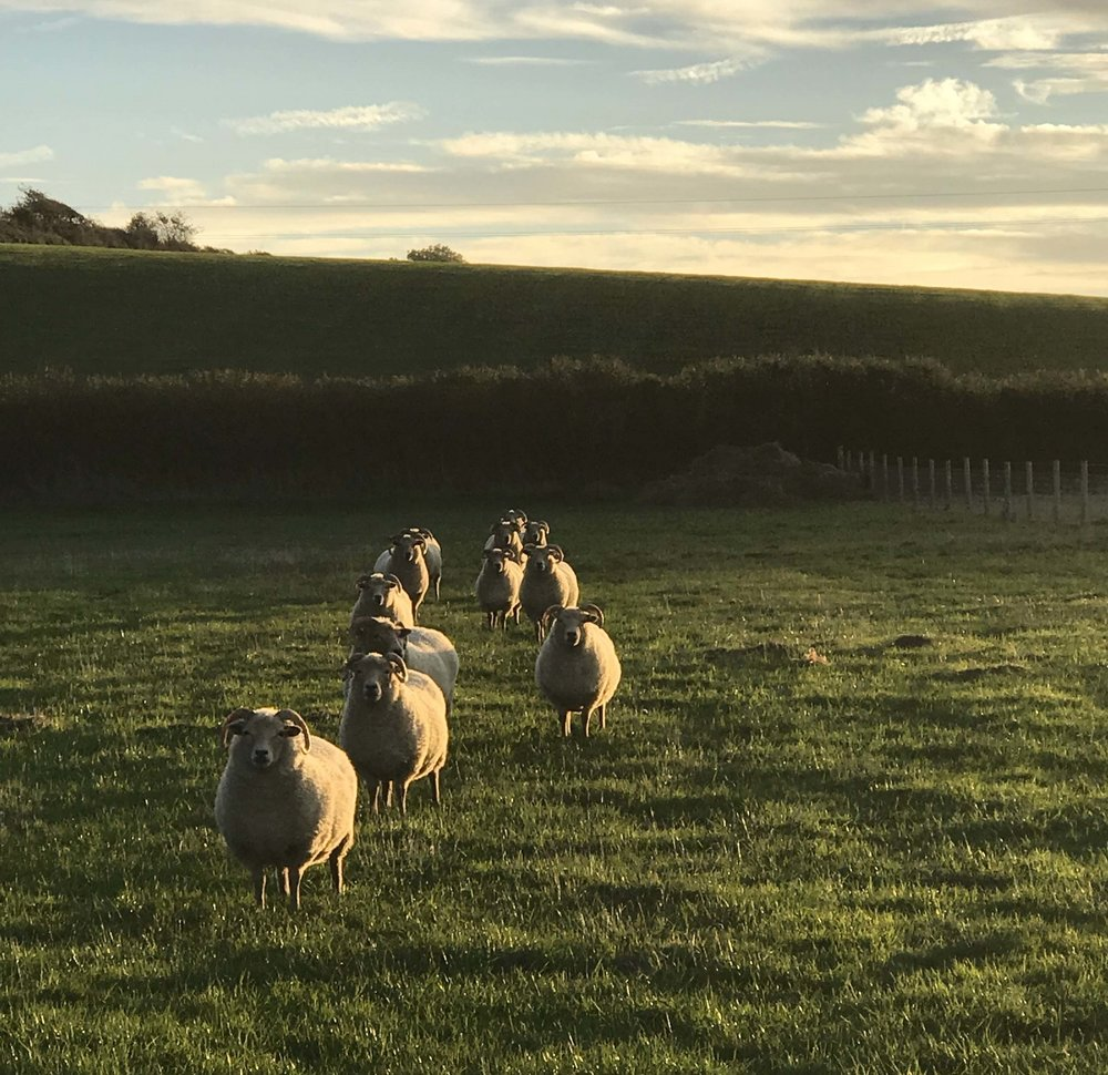 Our small flock of Portland Sheep (rare breed)(home for life) help the biodiversity as they eat rough grass, remove thatch and browse on rushes helping with conservation of the meadow. After spring they move to other fields.