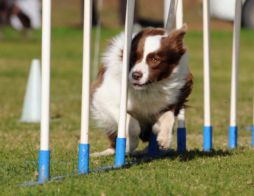 mackay-dog-agility-event.jpg