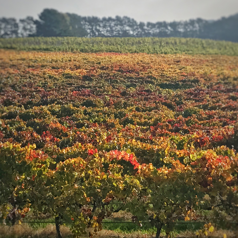Vines-In-Autumn-2017.jpg