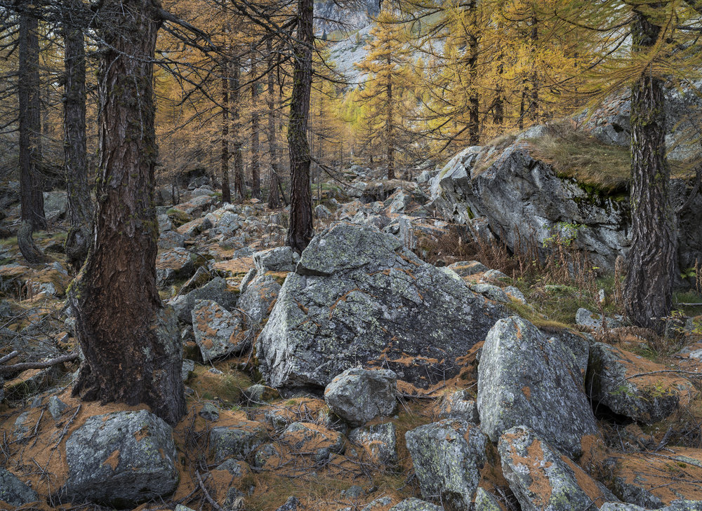 Larch Forest, Val Ferret, Italy 2013