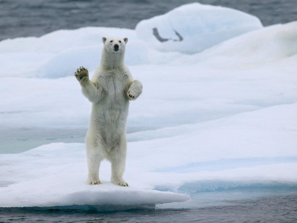 Waving Polar Bear, Svalbard 2004