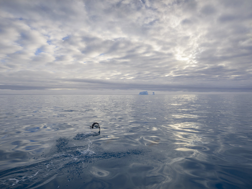 King Penguin, Near Gold Harbour, South Georgia, Antarctica 2016