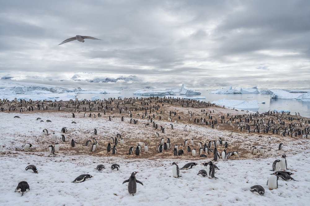 Gentoo Penguin Colony, Cuverville Island, Antarctica 2016