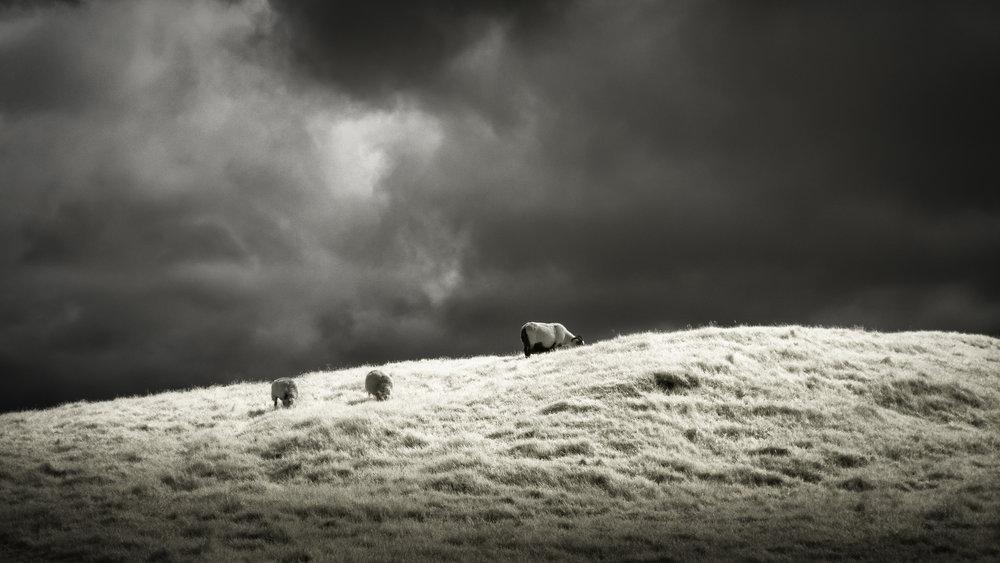 Sunlit Sheep