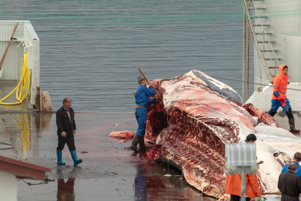 Blood pours onto the whalers boots as he cuts through the top of the whale
