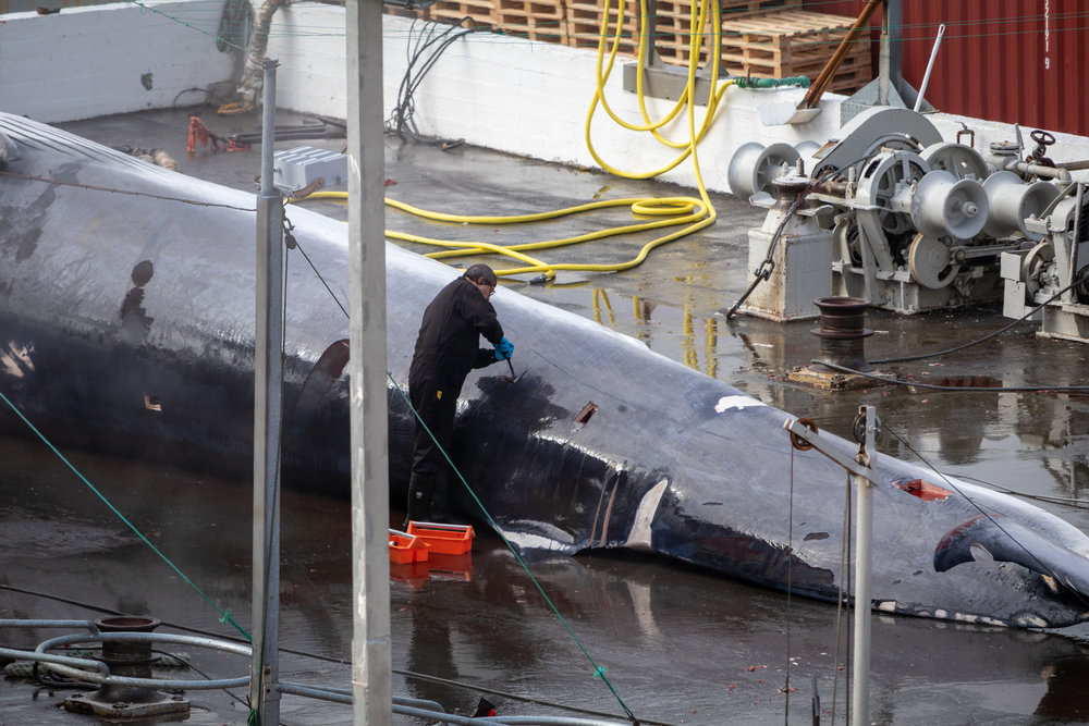 "The vet cuts into the whale to take samples for testing. In 2015 Japan rejected the meat for being too contaminated. It begs the question ""what is the point then?"""