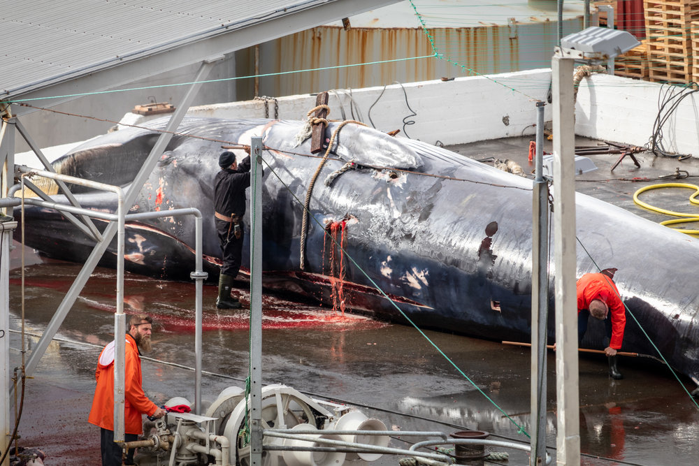Work begins. The first cuts into whale 117 cause blood to pour out of her air hole.