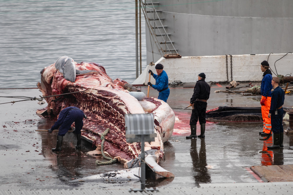 Time to remove the front of the whale with the intestines, stomach and uterus all being cut free.