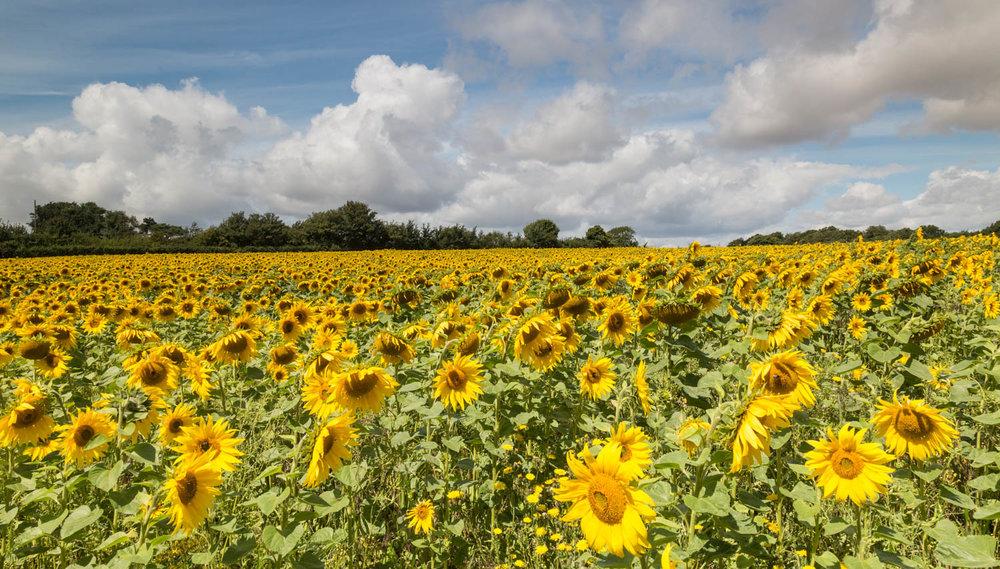 Sunflower field  Kent