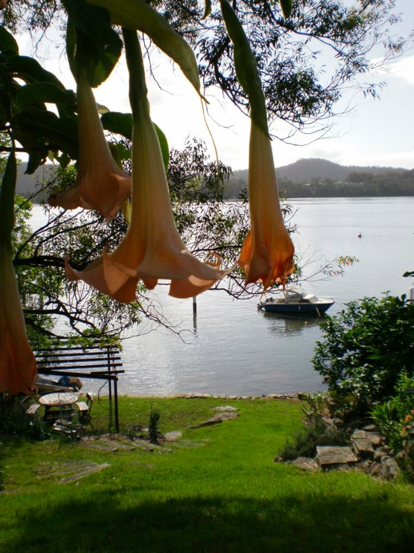 garden_angel trumpets and view.jpg