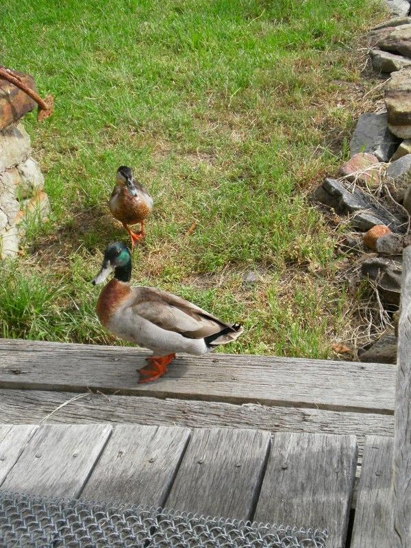 garden_duck.jpg