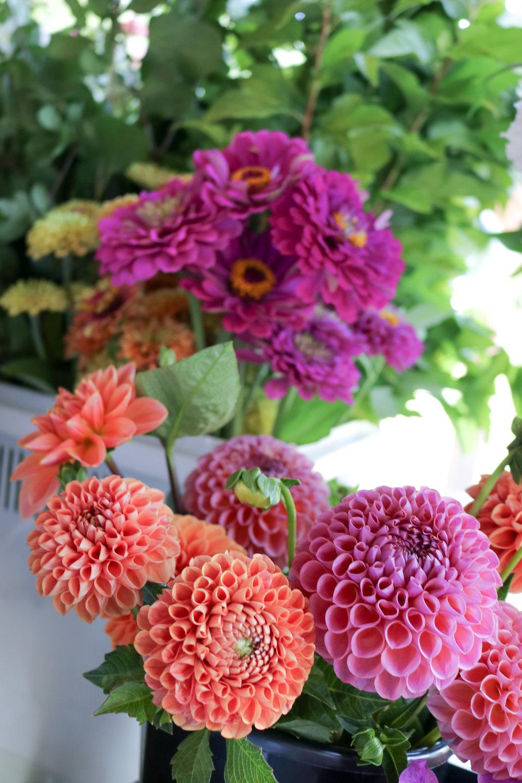 dinnerplate dahlias at Maple Flower Farm with Sandra Les Fleurs Andover