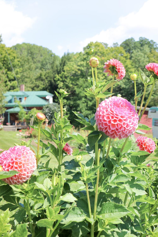 Sandra Les Fleurs Andover at Maple Flower Farm dahlias