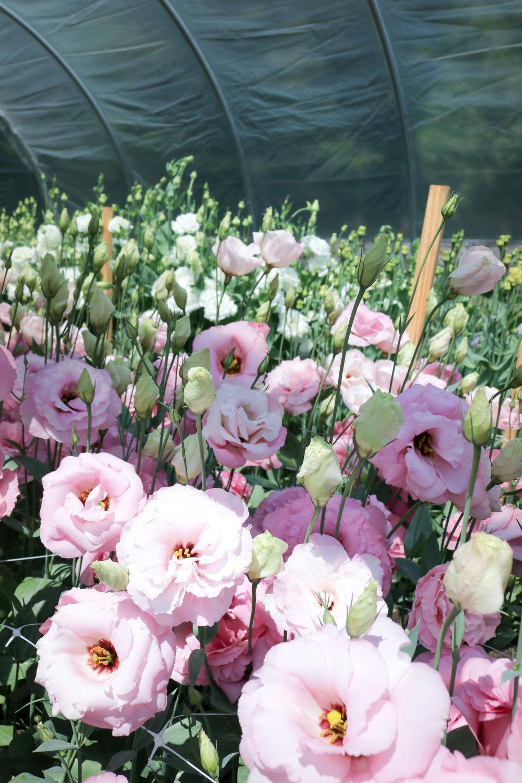 Sandra-lesfleurs-tours-lisianthus-vermont-flower-farm.jpg