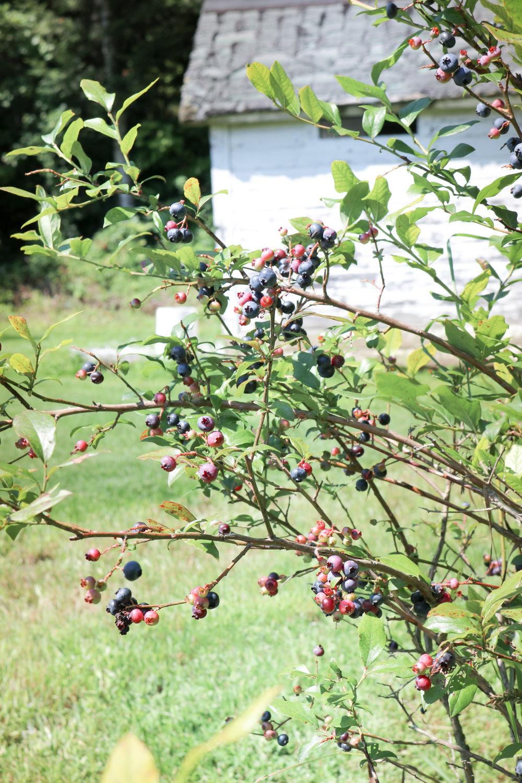 lesfleurs-visits-maple-flower-farm-vermont-blueberries.jpg