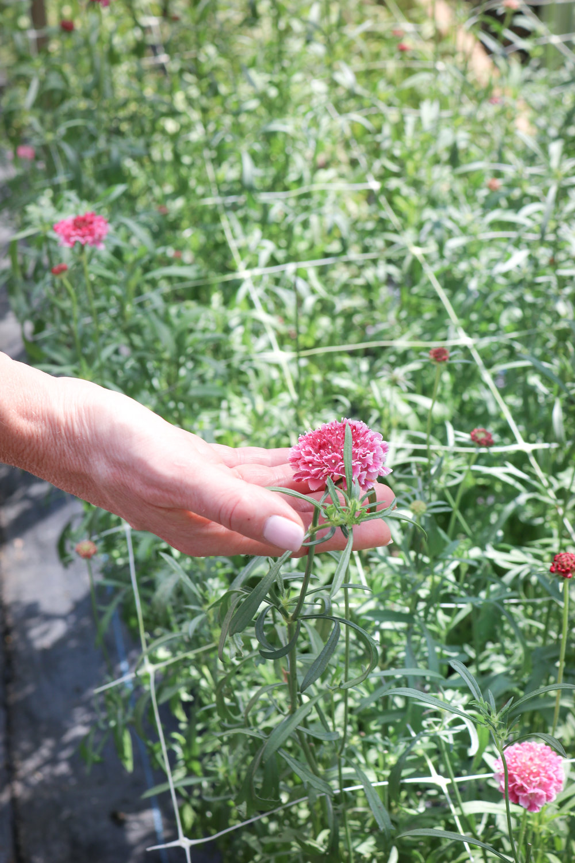 sandra-visits-maple-flower-farm-scabiosa.jpg